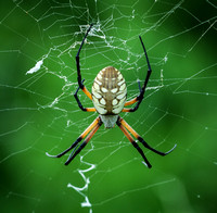 Black & Yellow Argiope