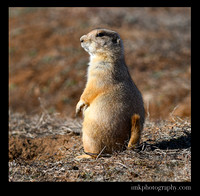 Black Tail Prairie Dog