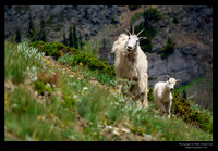 Mountain Goats WA